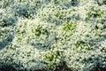 White Alyssum Maritimum