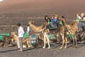 Local camel riding man prepares the camels for a ride with touri yaiza spain nov tourists in yaiza spain in timanfaya is Stock Photo