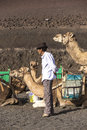 Local camel riding man prepares the camels for a ride with touri yaiza spain nov tourists in yaiza spain in timanfaya is Royalty Free Stock Photo
