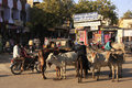 Local people and wild cows on the street of bundi india rajasthan Stock Photography