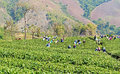Local people working on tea field harvesting nature background Royalty Free Stock Image
