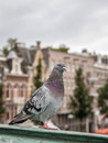 Local pigeon on one of the streets of Amsterdam Royalty Free Stock Photo