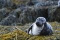 Loch Dunvegan`s Harbor Seal Royalty Free Stock Photo