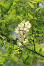 Locust blossom blossoms of a black robinia pseudoacacia in early summer Stock Photo
