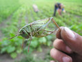 Locust caught in the hand green on field Stock Image