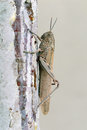 Locust or grasshopper close up side view of a large adult on a rough surface of a wall against a pale grey background Royalty Free Stock Photo