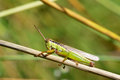 Locust the green on grass stem Royalty Free Stock Image