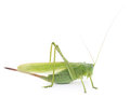 Locust green on a white background Stock Photos