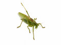 Locust isolated Stock Images