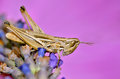 Locust on lavender flower macro of seen of profile pink background Stock Photo