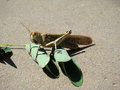 Locust locusts alone basking in the sun belongs to the family of these locusts Stock Photo