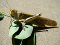 Locust locusts alone basking in the sun belongs to the family of these locusts Royalty Free Stock Photo