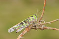 Locust the side close up of on branch Royalty Free Stock Images