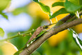 Locust sits on a Branch of Lemon Tree Stock Photos