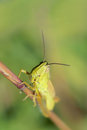 Locust a small on grass stem scientific name locusta migratoria manilensis meyen Royalty Free Stock Image