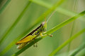 Locust striped and checkered a green black white striped and checkered short horned grasshopper flew to these blades of Royalty Free Stock Photography