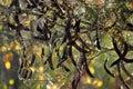 Locust Tree Beans Stock Photos