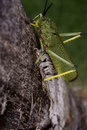 Locust on tree trunk Royalty Free Stock Images