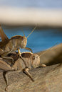 Locusts are the swarming phase of certain species of short horned grasshoppers in the family acrididae these are species that can Stock Images
