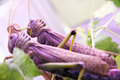 Locusts two in moscow russia Stock Image