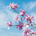Loebner Magnolia (Magnolia x loebneri) Blossoms Against Spring S Royalty Free Stock Photo