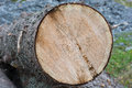 A log with growth rings Royalty Free Stock Photo
