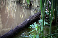 Log in shallow water a at the edge of a pond among the reeds Stock Images