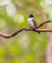 Loggerhead kingbird on a branch the tyrannus caudifasciatus looks similar to the endemic giant but it s beak is smaller in shape Royalty Free Stock Photo