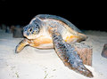 Loggerhead Sea Turtle Stock Image