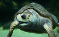 Loggerhead sea turtle close up view of a caretta caretta Stock Image