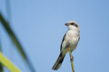 Loggerhead shrike perched on tree branch summer fort myers florida Royalty Free Stock Photos