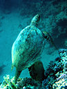 Loggerheadhavssköldpadda Royaltyfria Bilder