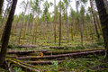 Logging timber industry tree thinning in a national forest shows detail of the in oregon Stock Photography