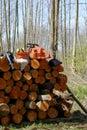 Logging worker equipment set on stack fresh alder logs Stock Image