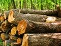 Logs of a tree an oak in wood Royalty Free Stock Photo