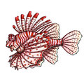 Loinfish colorfull on a white background Royalty Free Stock Photo