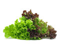 Lollo rosso batavia lettuce white background Royalty Free Stock Image