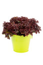Lollo rosso lettuce in yellow tin bucket on white background Royalty Free Stock Photo