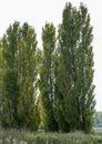 Lombardy poplars in late sun Royalty Free Stock Photo