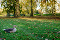 London, duck in St. James Park Royalty Free Stock Photo