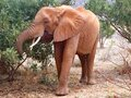 Lone african elephant eating leaves on an acacia tree in Tsavo East National Park, Kenya, Africa Royalty Free Stock Photo