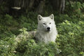 A lone arctic wolf resting in a shaded area with some green vegetation Stock Image