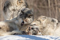 A lone arctic wolves in the winter woods fighting Royalty Free Stock Images