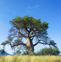Lone baobab tree a against a blue sky in limpopo Royalty Free Stock Images