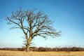 Lone bare branched winter tree in the country a isolated old oak has gnarly twisted branches late early spring a midwestern Stock Photography