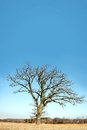 Lone bare branched winter tree in the country a isolated old oak has gnarly twisted branches late early spring a midwestern Royalty Free Stock Image