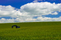 Lone barn in a corn field Royalty Free Stock Photo