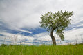 Lone bent tree green in summer Stock Photos