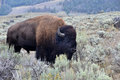 Lone bison old in yellowstone national park Stock Photos