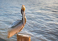 Lone Brown Pelican Royalty Free Stock Photo